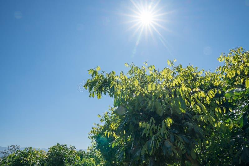在蓝天的Lensflare在龙眼frui的新的绿色叶子成长上 免版税库存照片