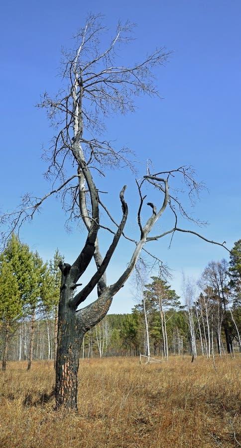 在蓝天背景的一棵被烧焦的树  在火以后 免版税库存图片