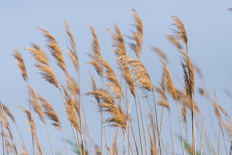 在蓝天背景的多种子的芦苇茎 库存图片