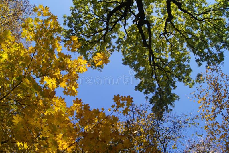 在蓝天背景的大和高大的树木  免版税库存图片