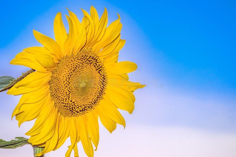 在蓝天背景的开花的花向日葵特写镜头 免版税库存图片