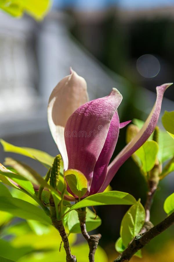Download 在蓝天背景的桃红色木兰 库存图片. 图片 包括有 宏指令, brander, 装饰, 绽放, 花卉, 叶子 - 72354409