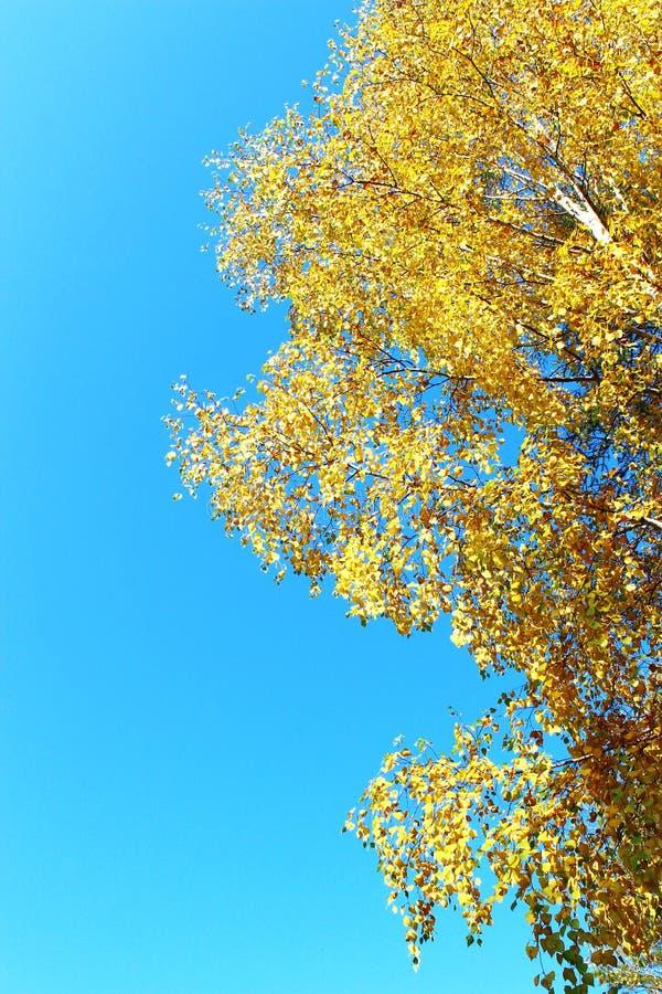 在蓝天背景的秋天桦树 免版税库存图片