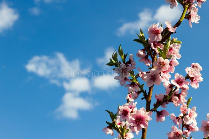 在蓝天背景的美丽的桃红色桃子开花 库存照片