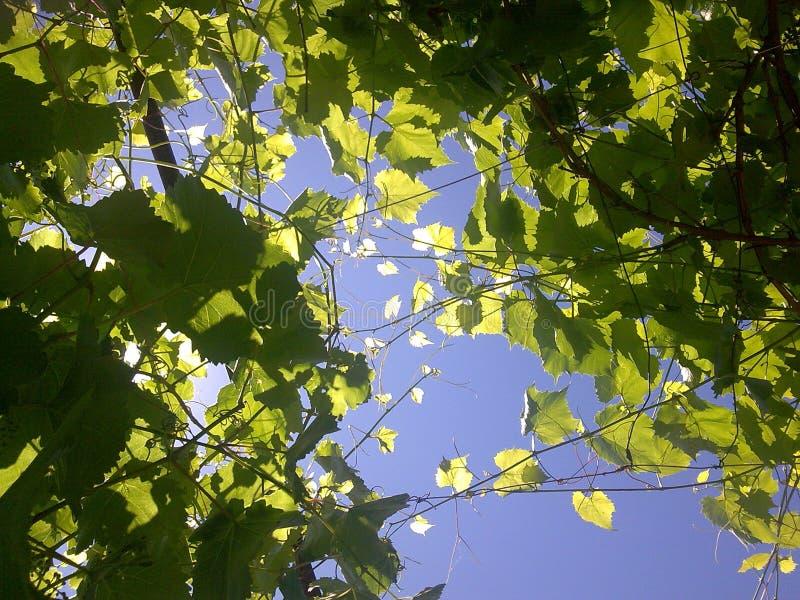 在蓝天背景的葡萄树  库存图片