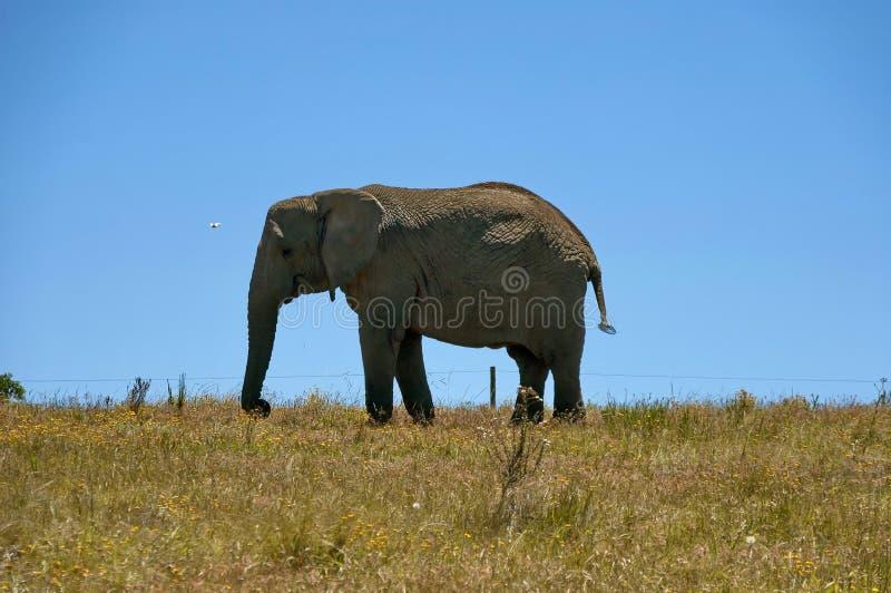 在蓝天背景的非洲大象 免版税库存图片