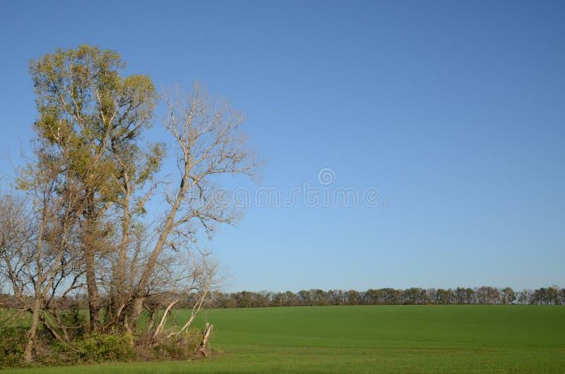 在蓝天背景的高大的树木在绿色领域的边缘的 免版税库存照片