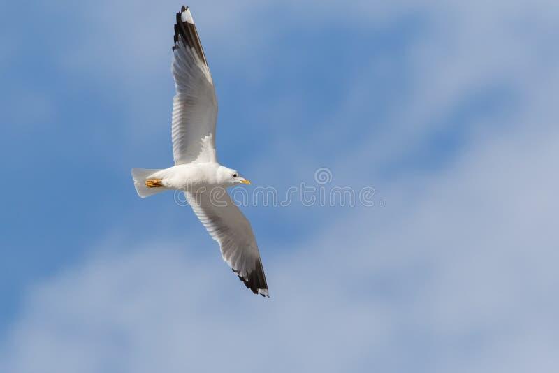 在蓝天鸥属canus的共同的鸥飞行 图库摄影