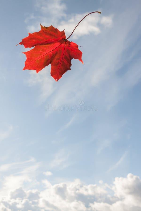 在蓝色云彩天空backg的一片简单的秋天红槭落的叶子 免版税库存照片