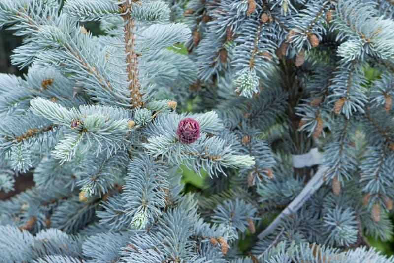 在蓝色云杉的美丽的年轻桃红色锥体 与常绿植物的组合银色蓝色云杉看非常印象深刻反对 免版税库存图片