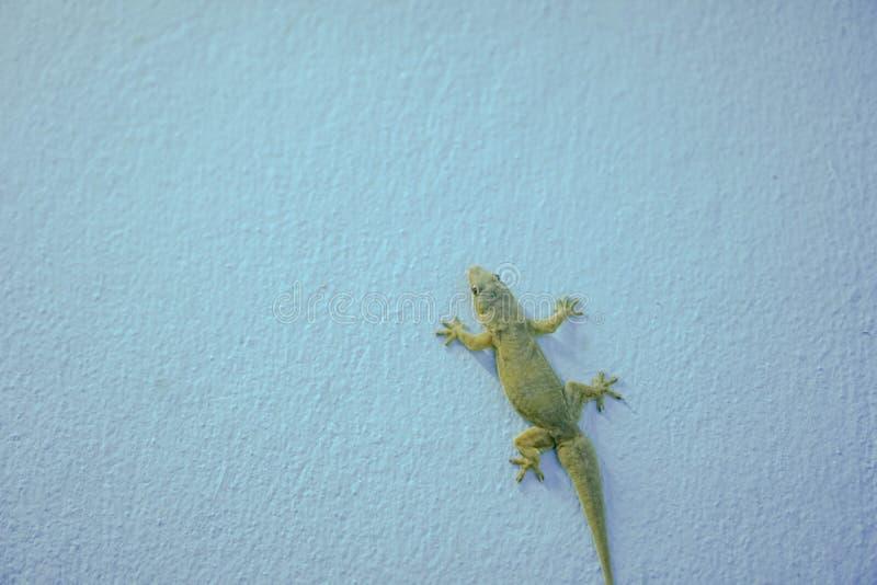 在蓝色墙壁上的蜥蜴  库存照片