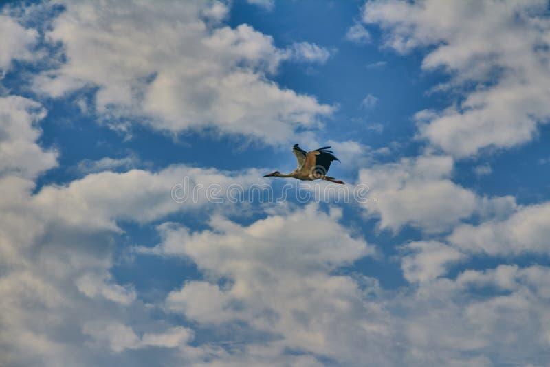 在蓝色多云天空的飞行的鹳 库存照片
