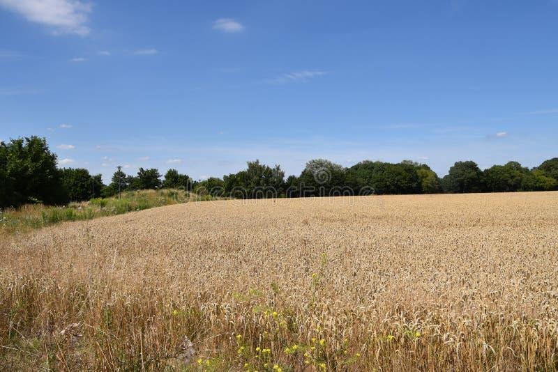 在蓝色晴朗的天空的黄色麦子耳朵领域 免版税库存图片