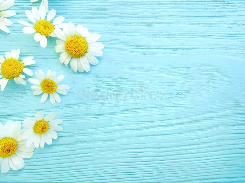在蓝色木背景春天构成框架的雏菊花 免版税图库摄影