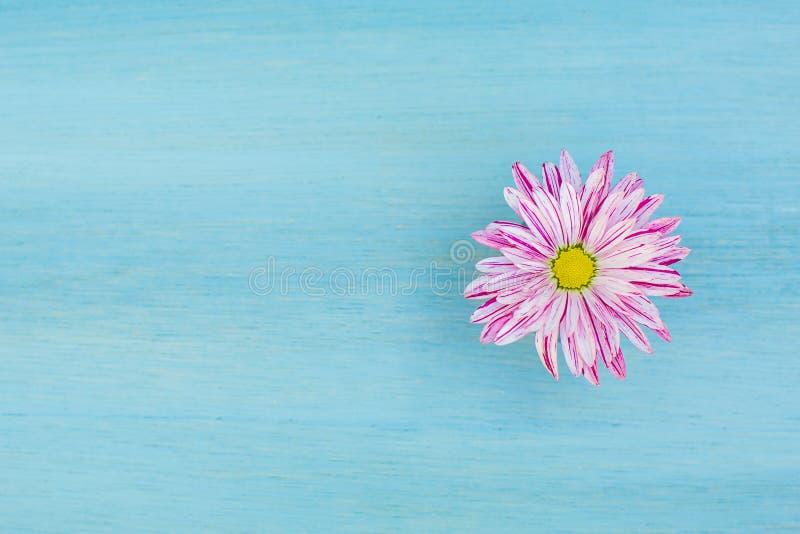 在蓝色木背景的美丽的桃红色雏菊花 图库摄影