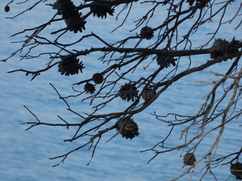 在蓝色海烘干的菠萝 库存图片