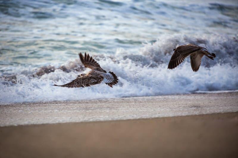 在蓝色海的飞行海鸥 免版税库存照片