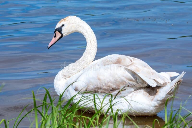 在蓝色湖水的幼小天鹅 免版税库存图片