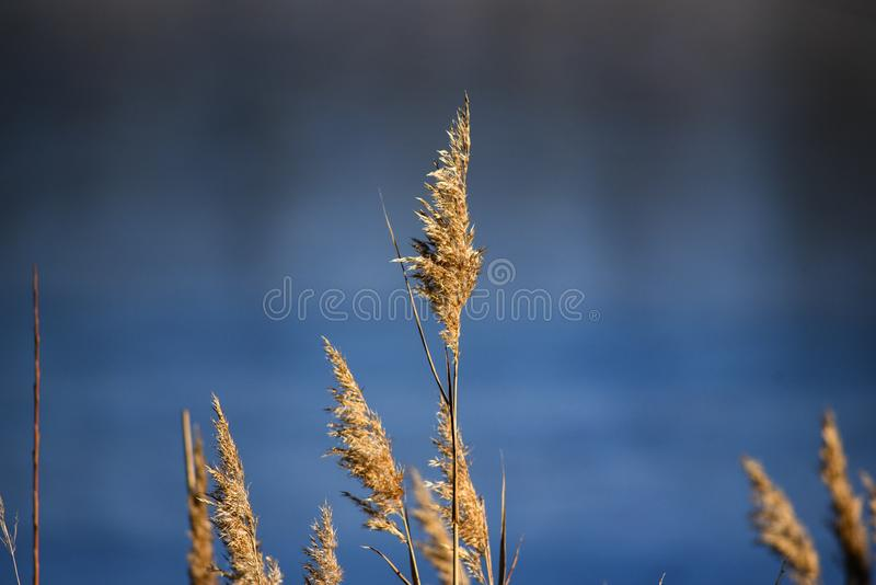 在蓝色湖水背景的秋天干草  图库摄影