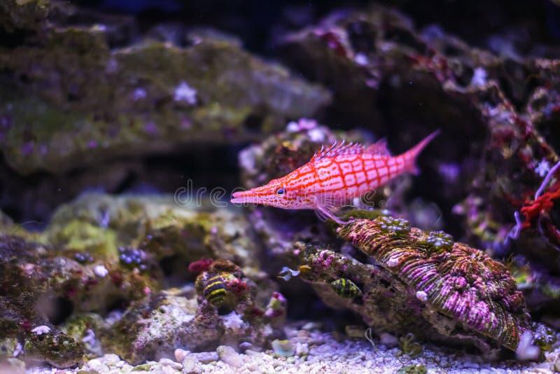 在蓝色珊瑚礁海水水族馆的滑稽的热带fishe 免版税图库摄影