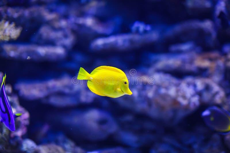 在蓝色珊瑚礁海水水族馆的滑稽的黄色热带fishe 图库摄影