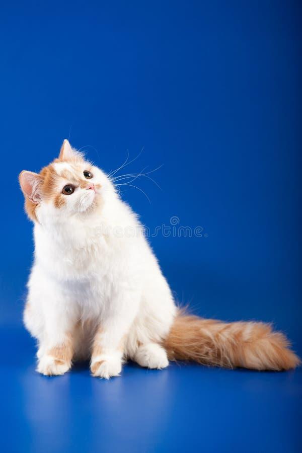 Download 小猫苏格兰平直的品种 库存照片. 图片 包括有 视图, 小猫, 差异, 凝视, 眼睛, 直接, 唯一, 茴香 - 30337314