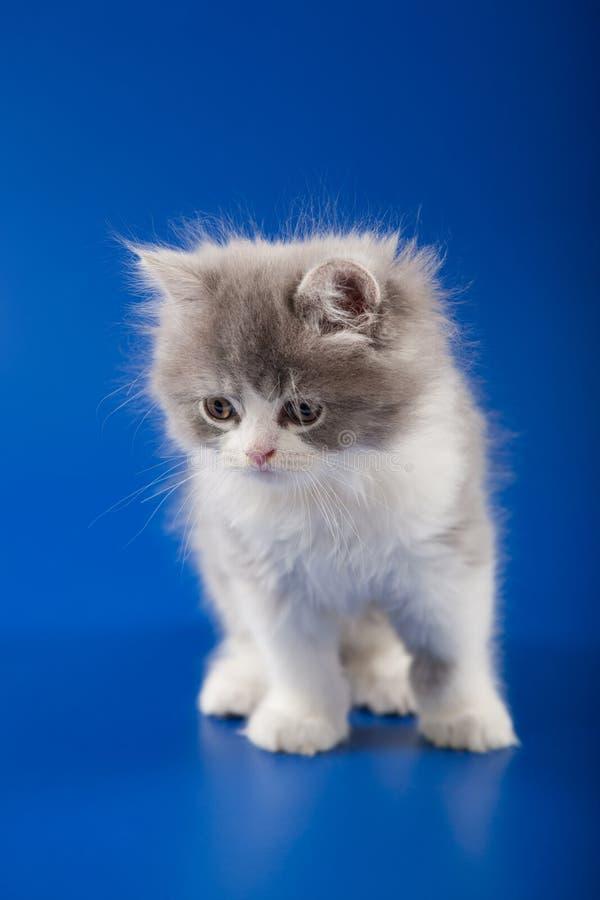 Download 小猫苏格兰平直的品种 库存照片. 图片 包括有 视图, 突出, 工作室, 前面, 乐趣, 背包徒步旅行者 - 30337668