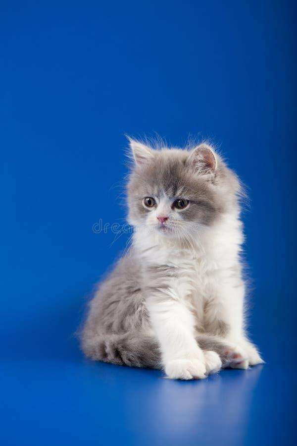 Download 小猫苏格兰平直的品种 库存照片. 图片 包括有 乐趣, 颊须, 小猫, 户内, 茴香, 苏格兰, 嬉戏, 工作室 - 30337764
