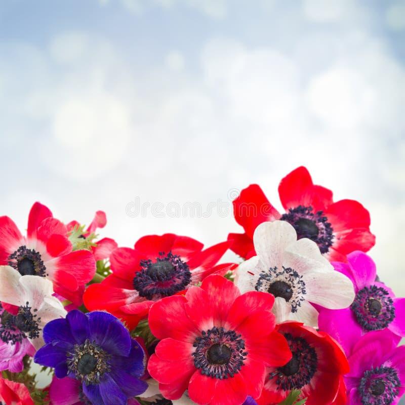 在蓝色的银莲花属花 图库摄影