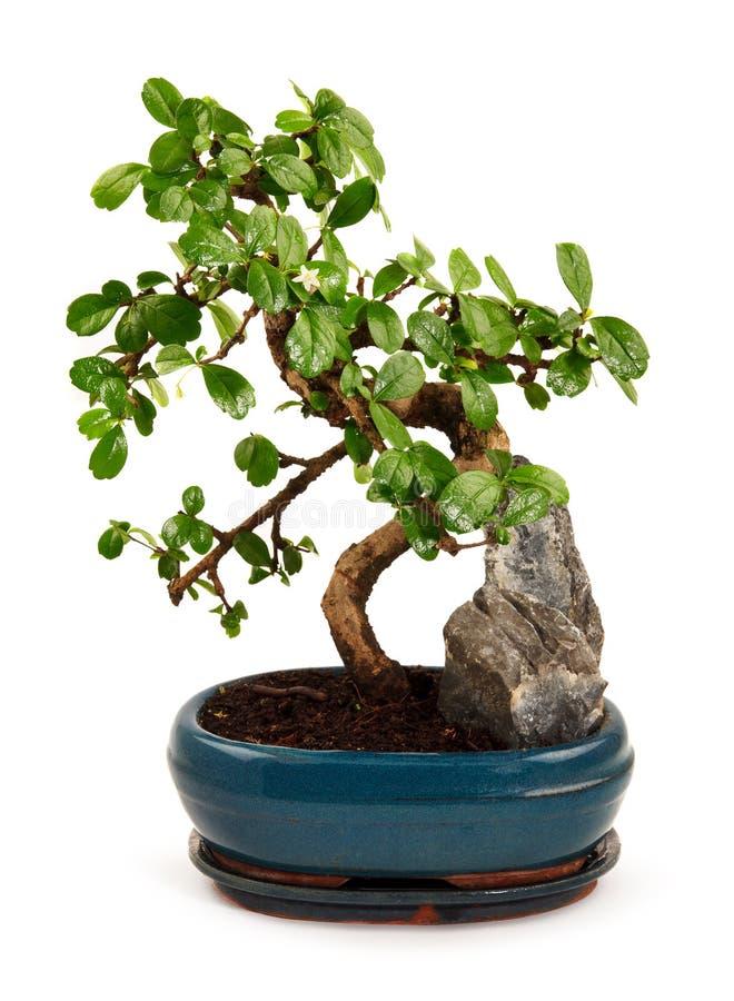 在蓝色罐的盆景树 免版税图库摄影