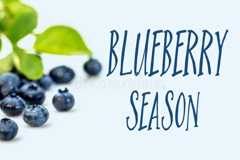 在蓝色背景和文本蓝莓季节的美国美洲越桔 库存照片