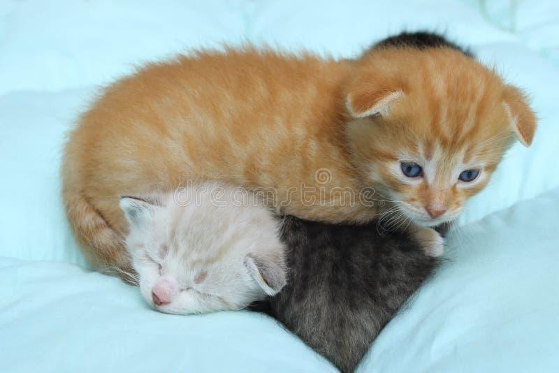 在蓝色背景的三只小猫 库存图片
