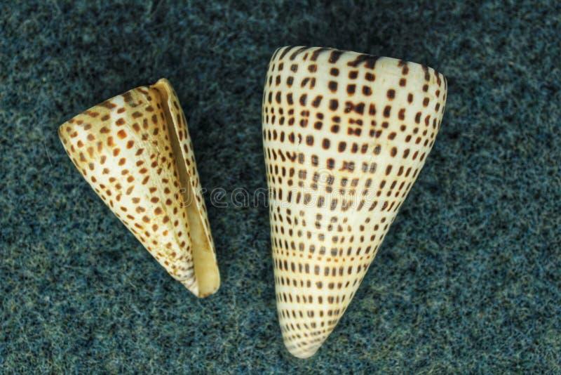 在蓝色背景的五颜六色的贝壳 圆锥litteratus 免版税库存图片