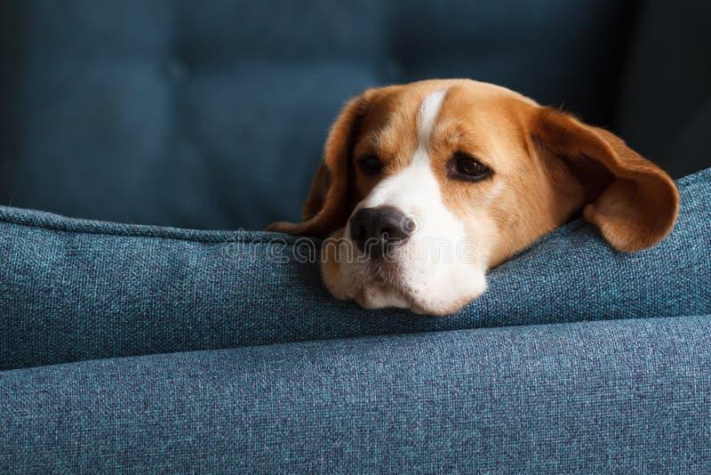 在蓝色背景的哀伤的小猎犬狗 库存照片