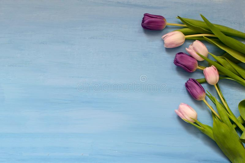 在蓝色背景的桃红色和紫罗兰色郁金香 免版税图库摄影