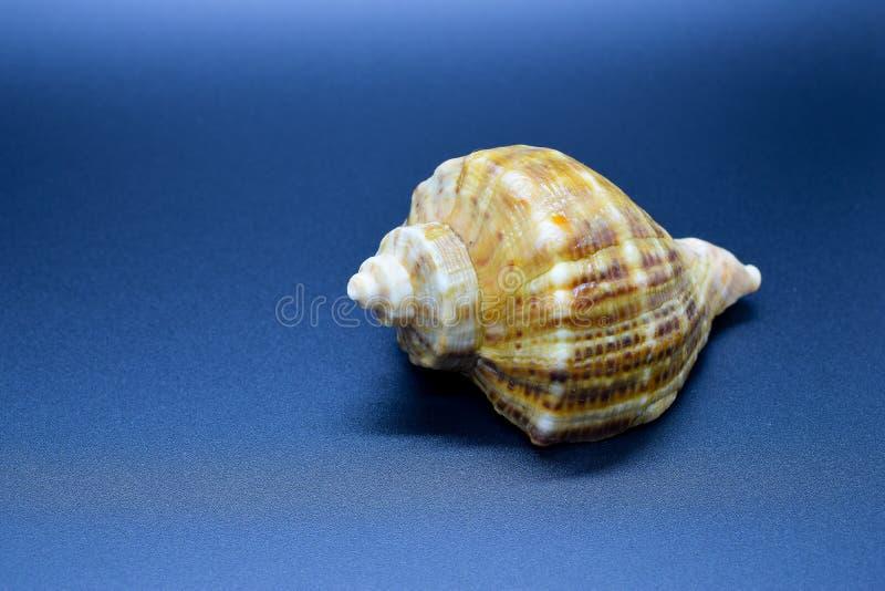 在蓝色背景的海壳 免版税库存照片