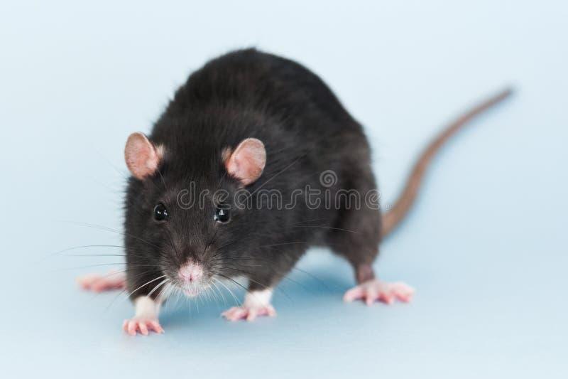 在蓝色背景的灰色花梢鼠 免版税图库摄影