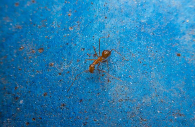 在蓝色背景的红色蚂蚁 库存图片