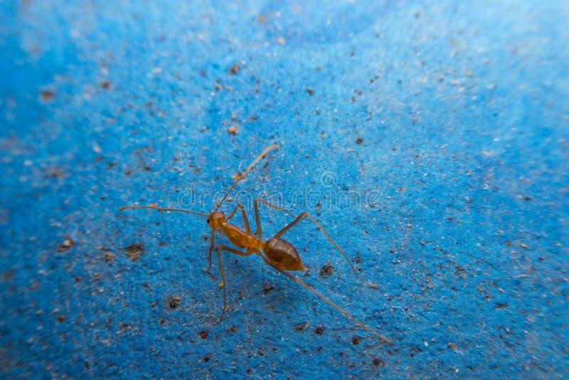 在蓝色背景的红色蚂蚁 免版税库存图片