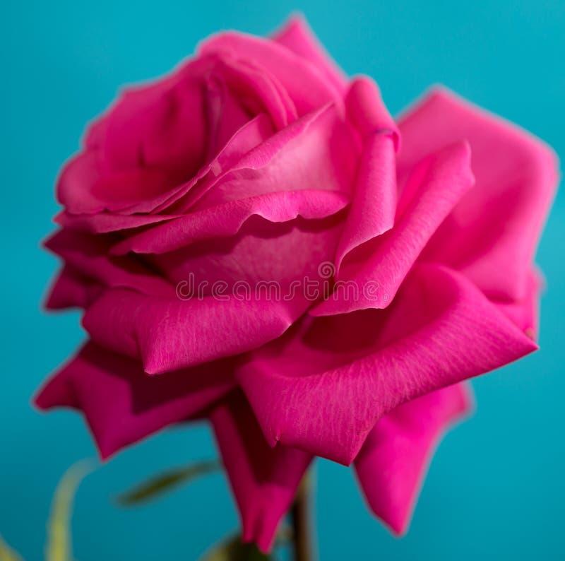 在蓝色背景的美丽的红色玫瑰 库存图片