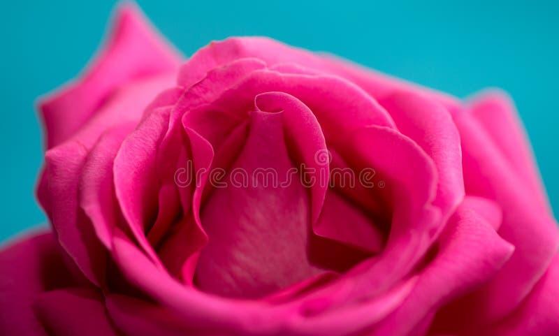 在蓝色背景的美丽的红色玫瑰 库存照片