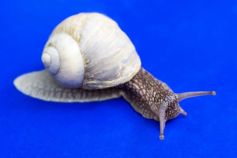 在蓝色背景的蜗牛 免版税库存照片