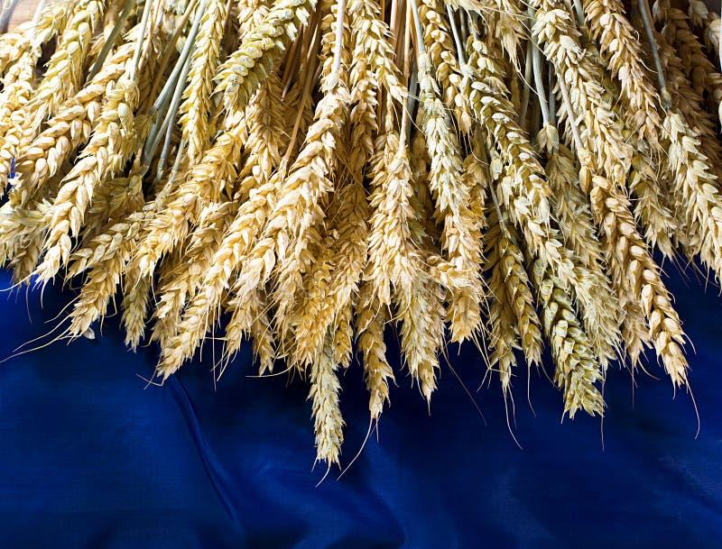 在蓝色背景的金黄麦田 免版税图库摄影