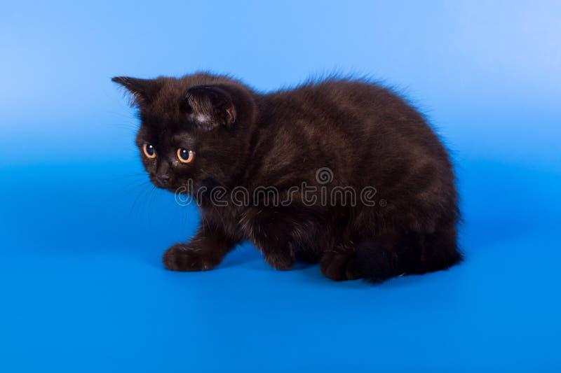 在蓝色背景的黑小猫 免版税库存照片