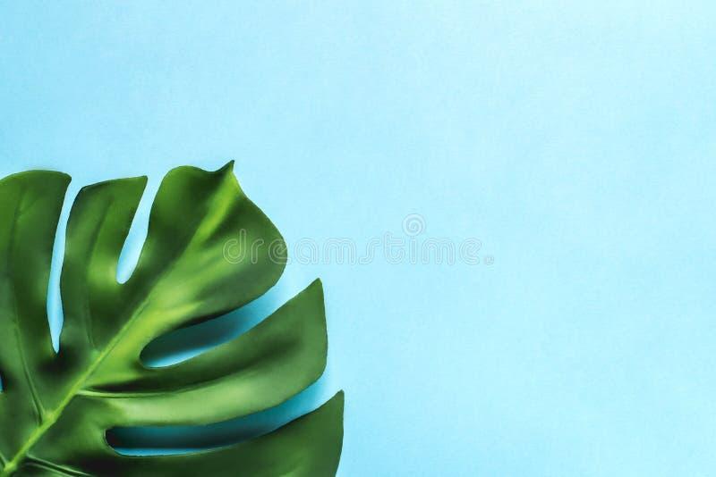 在蓝色背景的Monstera叶子 平的位置,顶视图 免版税库存照片