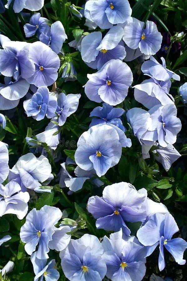 在蓝色颜色的蝴蝶花  库存图片