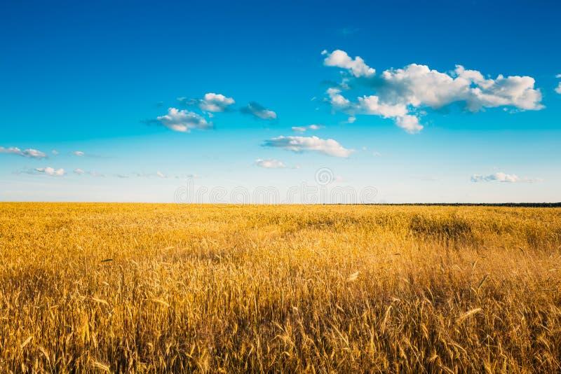 在蓝色晴朗的天空的黄色麦子耳朵领域 免版税图库摄影