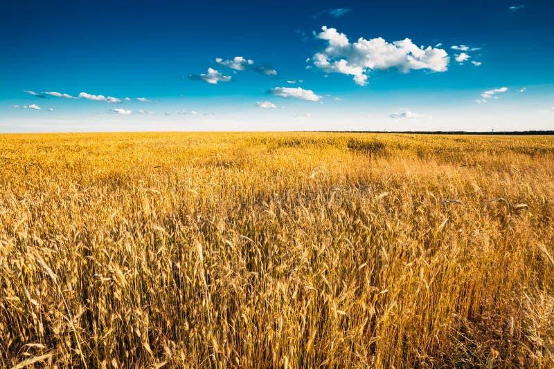 在蓝色晴朗的天空的黄色麦子耳朵领域 免版税库存照片