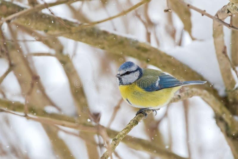 在蓝色黄色开会的逗人喜爱的矮小的欧亚蓝冠山雀鸟在tre 免版税库存图片