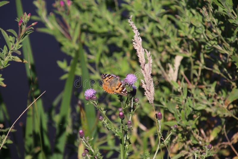 在蓟植物的紫色开花的蝴蝶公园hitland的在荷兰 免版税库存图片